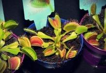 Venus vleesetende plant