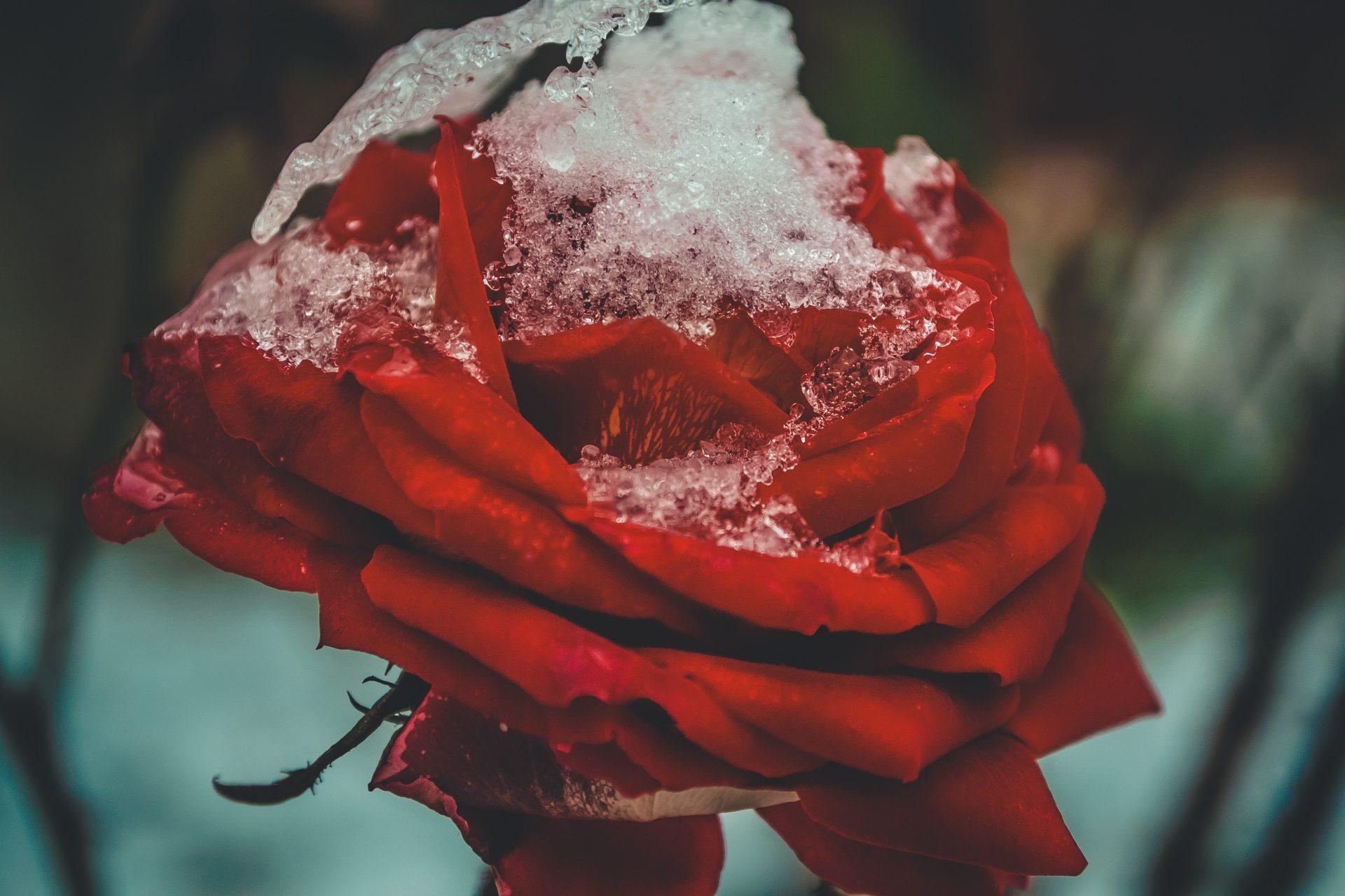 Een roos met ijs op de bladeren