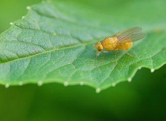 Fruit vliegje op een blad